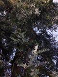 La mirada para arriba a la corona de los árboles de eucalipto de un eucalipto viejos del árbol fue introducida a California y se  fotografía de archivo