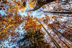 La mirada para arriba en un toldo de bosque del otoño coloreó las hojas Imágenes de archivo libres de regalías