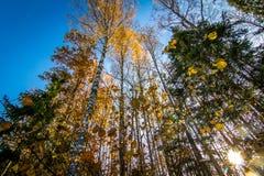 La mirada para arriba en un toldo de bosque del otoño coloreó las hojas Foto de archivo