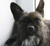 La miscela del bulldog dell'Yorkshire terrier guarda alla macchina fotografica, ritratto fotografia stock