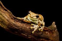 La misión de oro-observó la rana de la rana arbórea o de la leche del Amazonas (Trachycephalu Foto de archivo