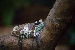 La misión de oro-observó rana de la rana arbórea o de la leche del Amazonas, Trachycephalus o resinifictrix de los phrynohyas imagen de archivo