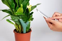 La misura dell'umidità e del fertilizzante del suolo dal sensore e dallo smartphone in fiore di fioritura di Kalla fotografia stock libera da diritti