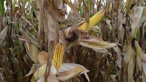 La mitad abrió maíz con la seda del maíz en campo de maíz agrícola almacen de metraje de vídeo