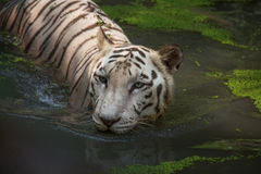 La mitad blanca del tigre de Bengala se sumergió en agua del pantano en el parque nacional de Sunderban Fotografía de archivo