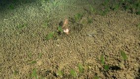 La mitad cutted los pescados cardinales todavía que nadaban n la noche en la arena en el mar Dumaguete del Zulú almacen de video