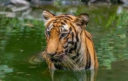 La mitad del tigre de Bengala (Panthera Tigris Bengalensis) se sumergió en agua Foto de archivo libre de regalías