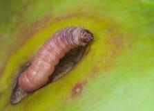 La mite de jeunes morues de parasite de Caterpillar rampe sur une pomme verte photo libre de droits
