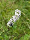 la mite Neuf-repérée ou le jaune a ceinturé le burnet, phegea d'Amata, autrefois le phegea de Syntomis, macro sur les fleurs pâle photos libres de droits
