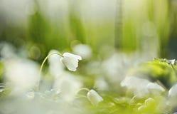 La molla bianca fiorisce l'anemone selvaggio Immagini Stock