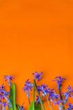 La molla blu fiorisce con le foglie verdi su un fondo arancio Immagine Stock Libera da Diritti