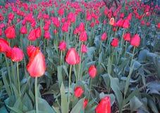 la molla di bellezza fiorisce la felicità della tenerezza di calore della nascita di vita del giardino dei tulipani Fotografia Stock Libera da Diritti
