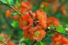 La molla di japonica di chaenomeles fiorisce il rosso Immagine Stock