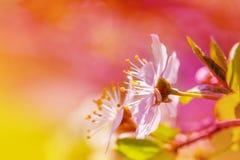 La molla fiorisce la cartolina d'auguri Fotografia Stock
