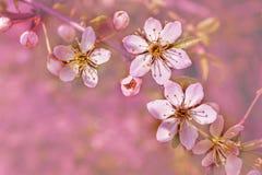 La molla fiorisce la cartolina d'auguri Immagine Stock