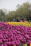 Manifestazione di fiore del tulipano Immagini Stock Libere da Diritti