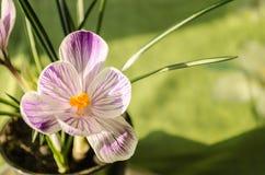 La molla tenera fiorisce il bucaneve su un fondo verde immagini stock