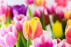 La molla variopinta dei tulipani fiorisce giallo e verde rosa-rosso Immagini Stock