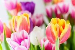 La molla variopinta dei tulipani fiorisce giallo e verde rosa-rosso Fotografia Stock