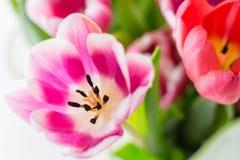 La molla variopinta dei tulipani fiorisce giallo e verde rosa-rosso Immagine Stock