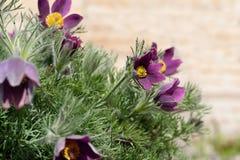 La molla viola pasqua fiorisce i patens del Pulsatilla fotografia stock
