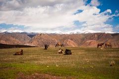 La moltitudine è nel pascolo Pascolo dei cavalli sul paesaggio del prato Cavallo islandese di riposo sulla valle della montagna Fotografie Stock