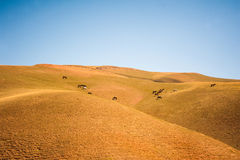 La moltitudine è nel pascolo Pascolo dei cavalli sul paesaggio del prato Cavallo islandese di riposo sulla valle della montagna Fotografia Stock