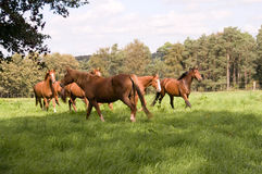 La moltitudine di cavalli. Immagine Stock