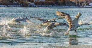 La moltitudine di cigni decolla Fotografia Stock Libera da Diritti