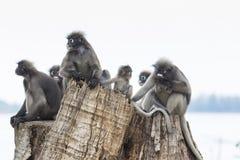La moltitudine di foglie oscure selvagge monkey sul ceppo di albero fotografia stock libera da diritti