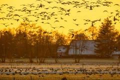 La moltitudine di oche al tramonto che cerca la ruggine sicura dispone Fotografie Stock