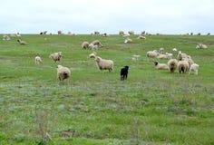 La moltitudine di pecore è in primavera steppa pascuta La Calmucchia Fotografia Stock Libera da Diritti
