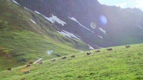 La moltitudine di pecore che pascono su una collina verde delle alte montagne e si abbassa archivi video