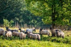 La moltitudine di pecore si avvicina alla foresta Fotografie Stock Libere da Diritti