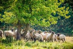 La moltitudine di pecore si avvicina alla foresta di estate Fotografia Stock Libera da Diritti