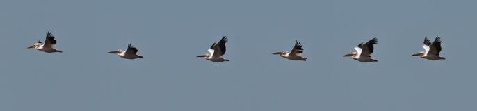 La moltitudine di pellicani vola nel cielo blu Fotografia Stock