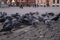 La moltitudine di piccioni selvaggi Immagine Stock