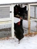 La moltitudine di polli contempla lasciare la gabbia per uscire in neve Fotografia Stock
