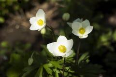 La an?mona de snowdrop de los sylvestris de la an?mona es una planta perenne que florece en la primavera, flores blancas en el ja foto de archivo