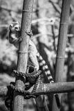 La montée d'un lémur Images libres de droits
