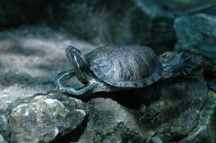 La montée de tortue Images libres de droits