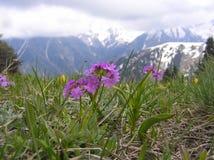 La montagna della primavera fiorisce su un fondo delle montagne nevose Immagine Stock Libera da Diritti