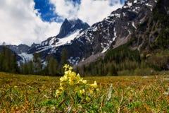 La montagna della primavera scenica con i fiori di primavera odorosa (veris della primula) mette a fuoco sul fondo della sfuocatu Fotografie Stock Libere da Diritti