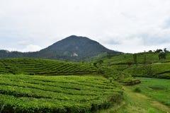 La montagna e la collina con agricoltura del tè verde Fotografia Stock Libera da Diritti