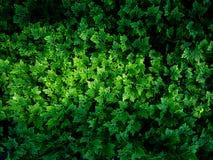 La montagna Ebony Ferns immagine stock