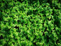 La montagna Ebony Ferns fotografia stock