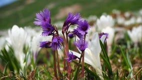 La montagna fiorisce nella primavera, nello snowbell alpino, in alpina di soldanella o in moonwort blu, alpi, Europa Fotografia Stock