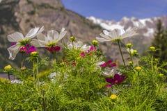 La montagna fiorisce vicino al massiccio Aosta, Italia di Mont Blanc immagini stock