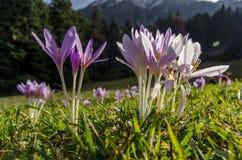 La montagne de violette pâle fleurit dans l'herbe verte avec la forêt à l'arrière-plan images libres de droits