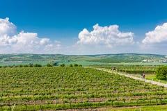 La Moravia del sud, repubblica Ceca: Campi della vigna sulla terra di agricoltura Prato della campagna, pianta della vigna e bell Immagine Stock